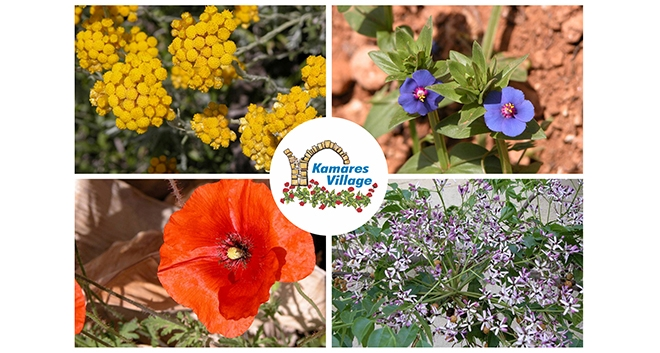 The Wild Flowers of Leptos Kamares Village in Paphos